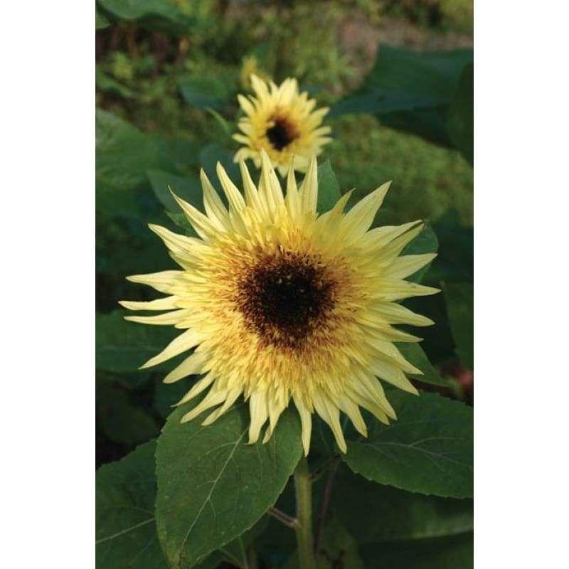Sunflower Lemon Eclair Garden Seeds Flowers Sunflowers And Daisies Sunflower