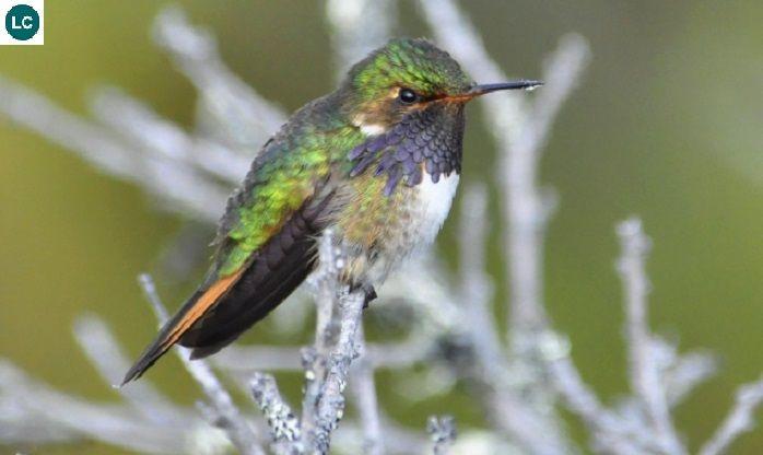 Https Www Facebook Com Wonderbirdspecies Volcano Hummingbird Selasphorus Flammula Costa Rica And Panama Iucn World Birds Hummingbird Species