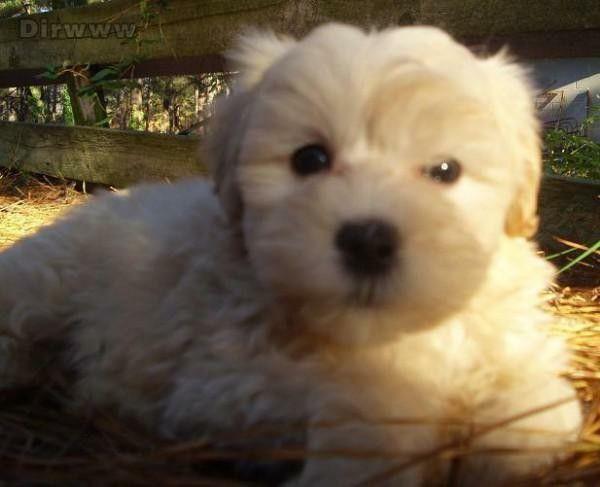 Cream Maltipoo Puppy Maltipoo Puppy Maltipoo Puppies