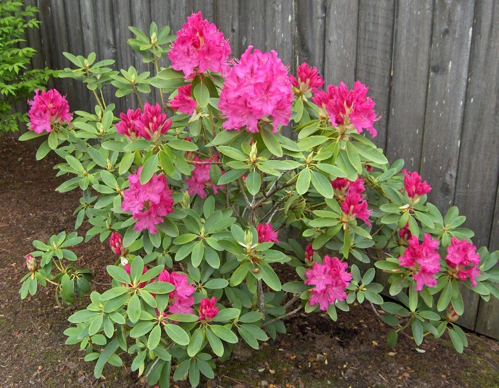 Rhododendron Plant Tags Rhododendron Flower Plant Plants