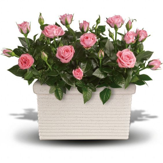 Tips for growing miniature roses indoors How to take care
