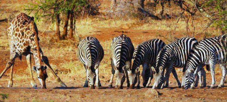 Viajes Sudáfrica parque nacional kruger girafas