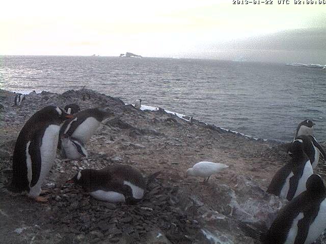 Penguin Webcam - Antarctica - O'Higgins - Eselspinguine - gentoo penguins