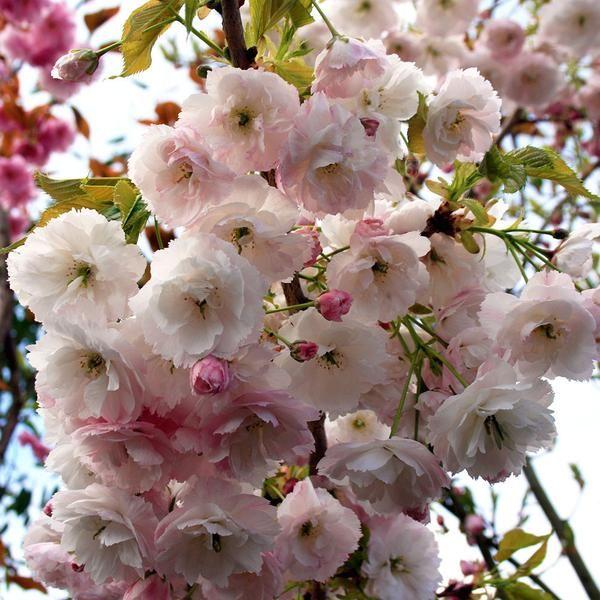 Prunus Shogetsu Blushing Bride Flowering Cherry Tree Flowering Cherry Tree Japanese Garden Plants Japanese Garden