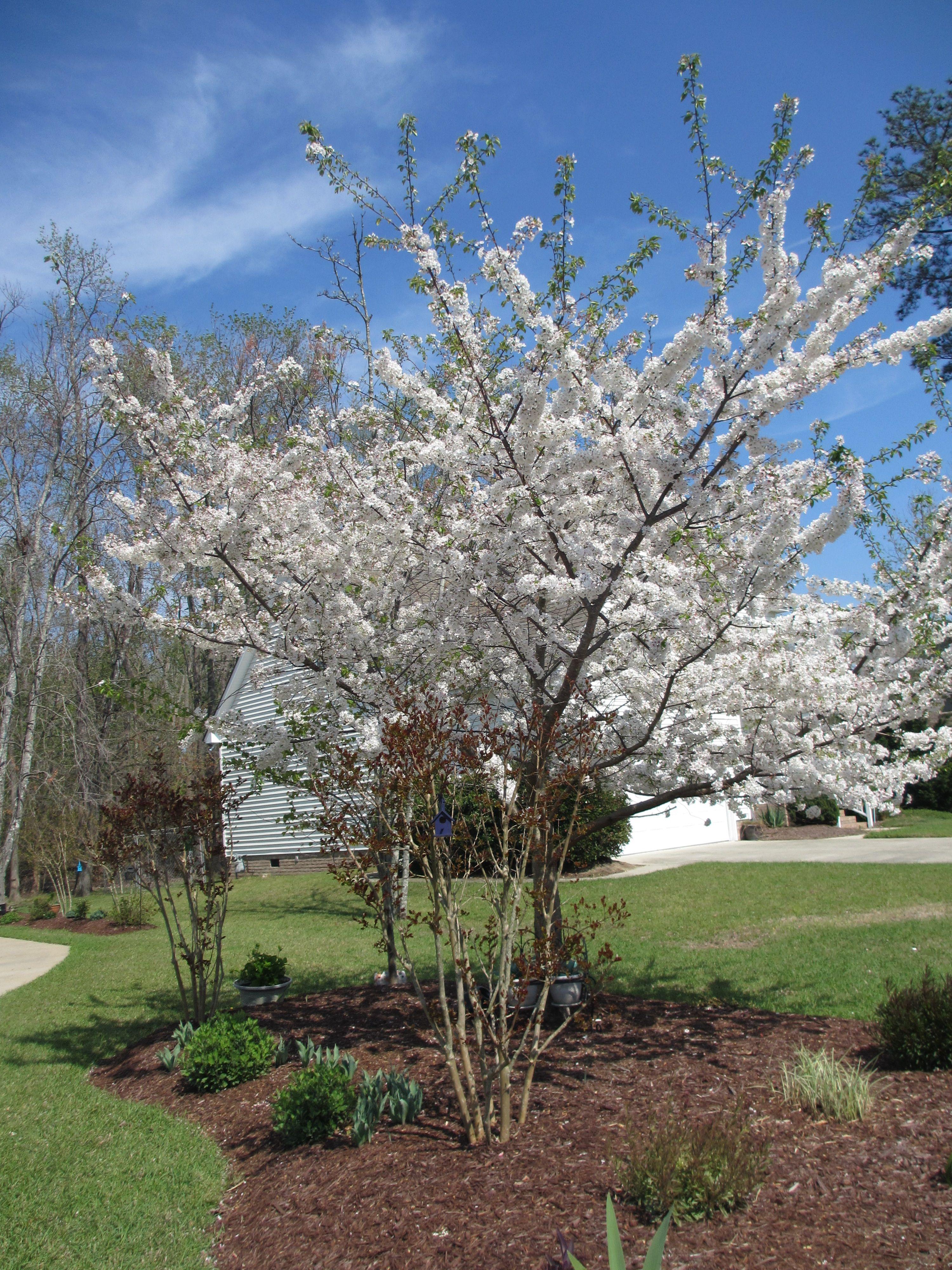 Yoshino Cherry Tree In Full Bloom Yoshino Cherry Tree Garden Inspiration Landscape