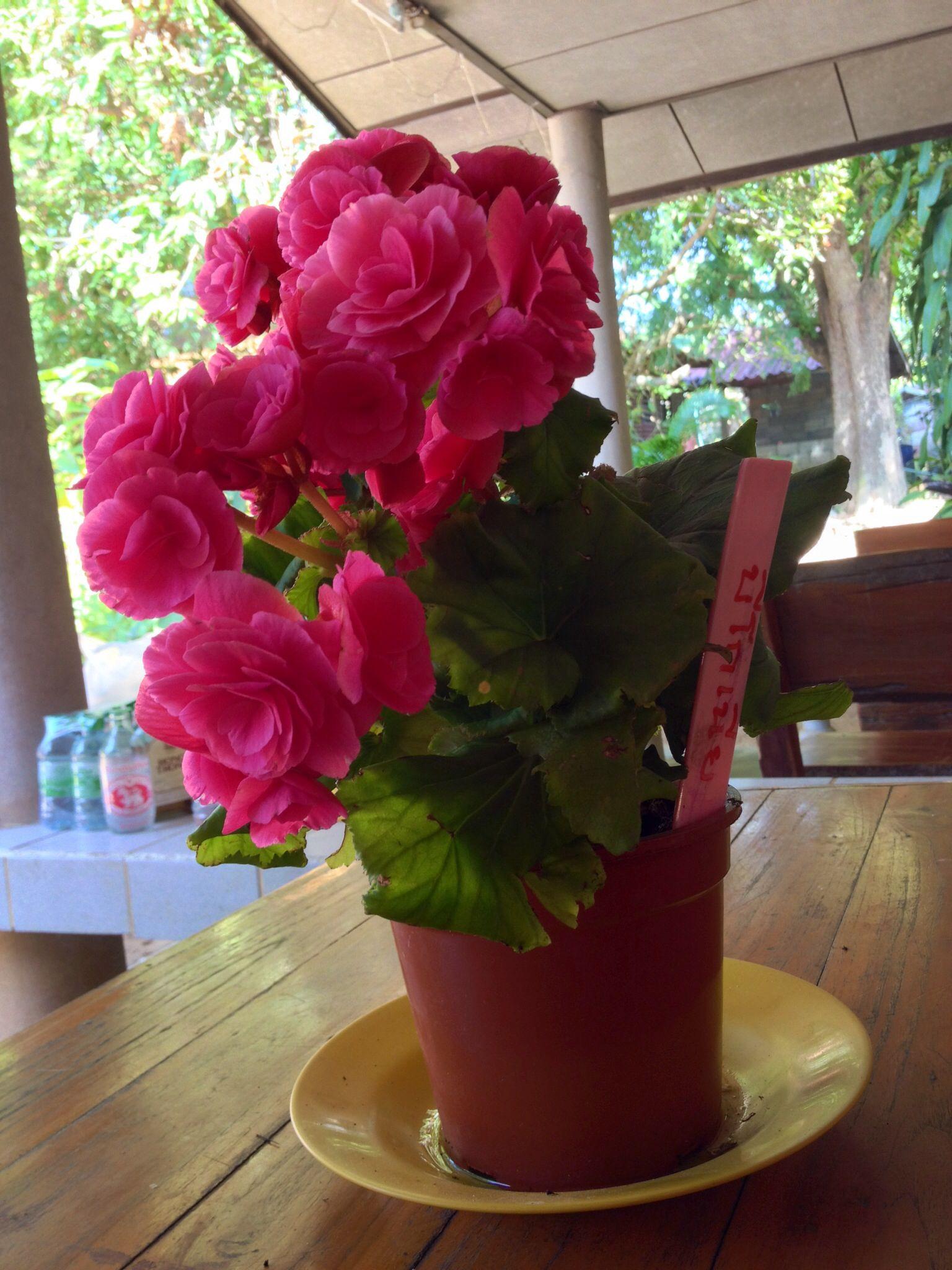 Beegonai flower