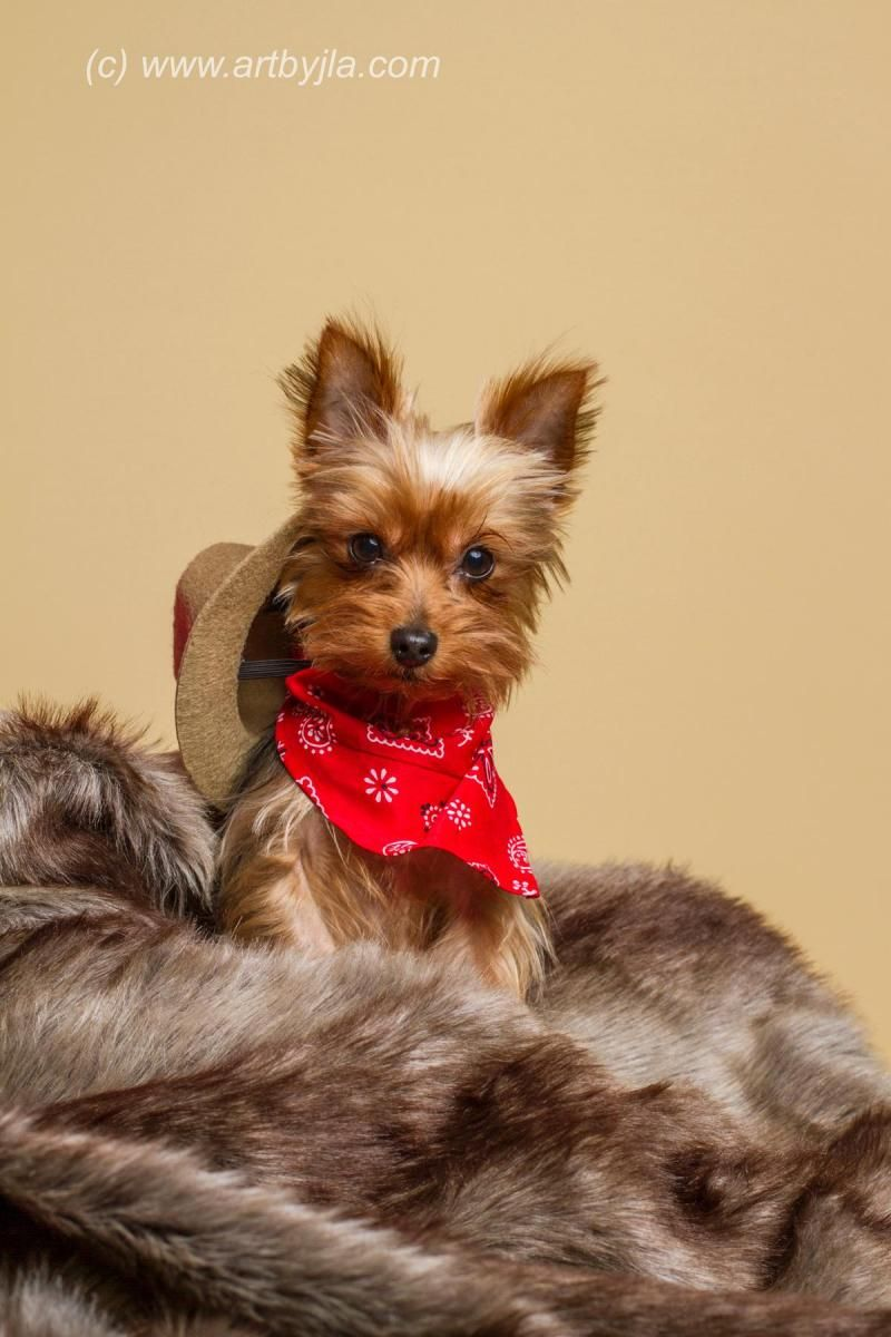 Adopt Frasier On My Belongs To A Yorkie Yorkie Yorkshire