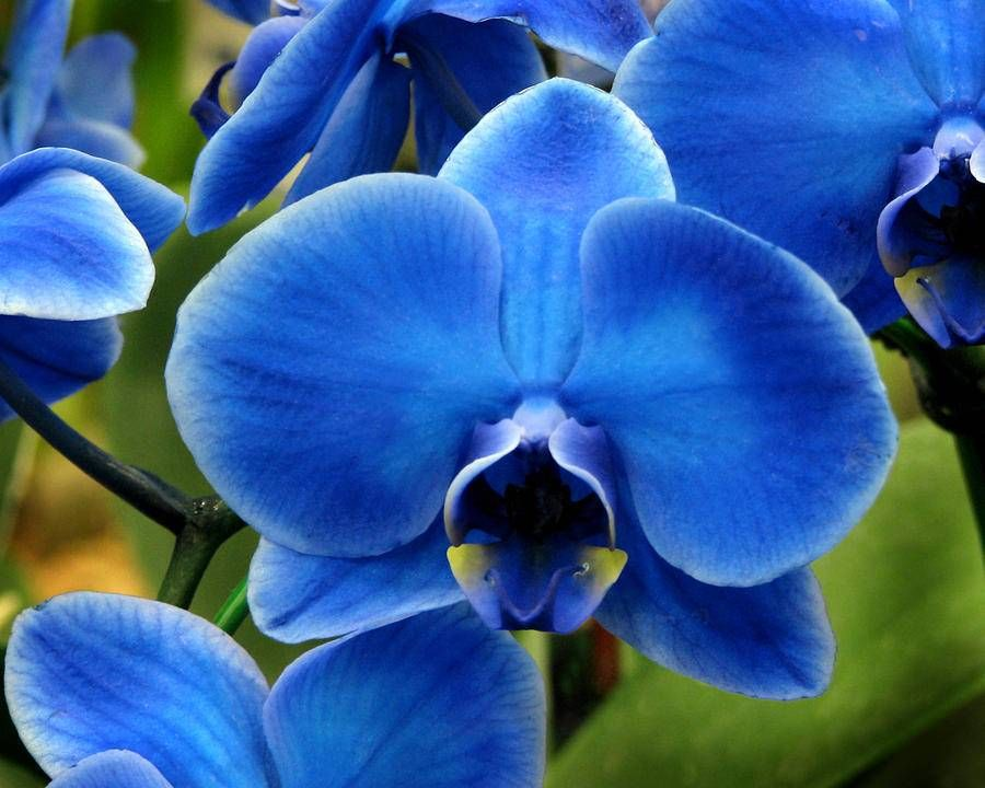 Blue Orchid Flower Types