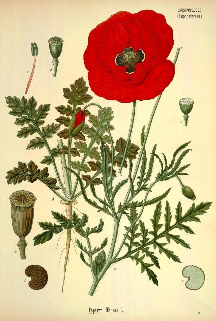 1883; v.3 - Ko?hler's Medizinal-Pflanzen in naturgetreuen Abbildungen mit kurz erla?uterndem Texte : - Biodiversity Heritage Library