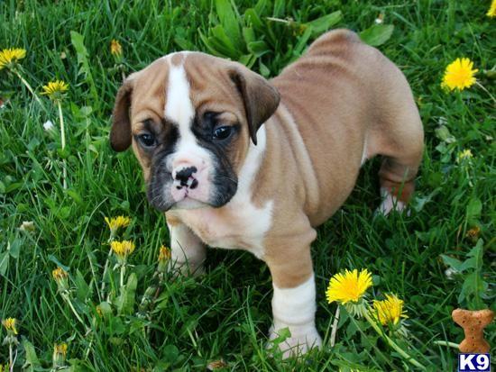 It S A Beabull A Beagle Bulldog Mix Like A Little Wrinkly