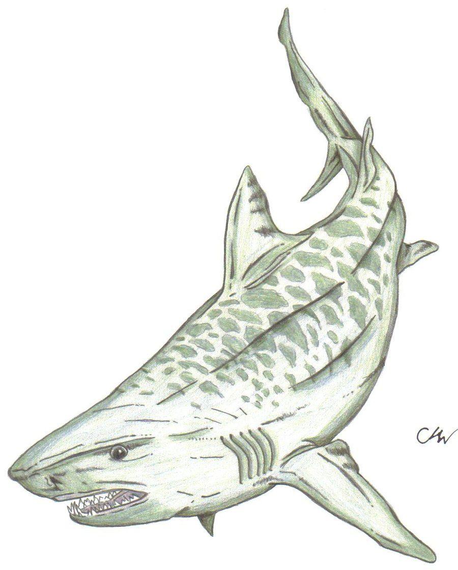 Tiger Shark Shark Tattoos Shark Drawing Shark Art