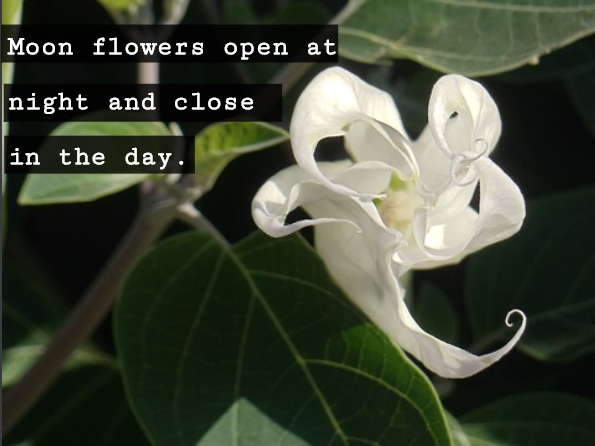 Have you heard of moon flowers they are delicate white flowers that have you heard of moon flowers they are delicate white flowers that bloom only at mightylinksfo