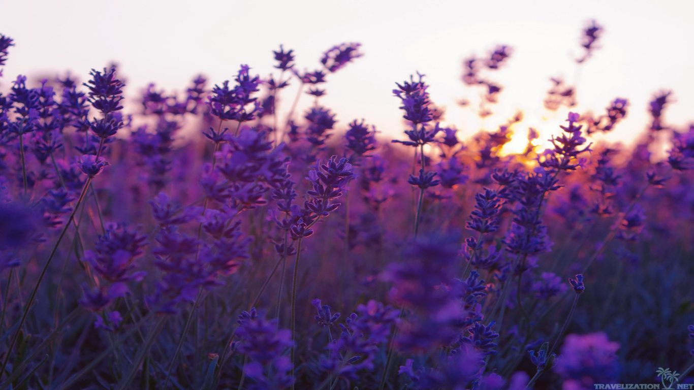 Beautiful Lavender Flowers Purple Flowers Wallpaper Flower Background Wallpaper Field Wallpaper
