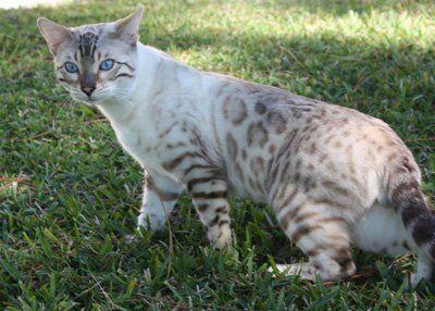 Blue Eyed Snow Bengals In S Fl Bengal Cat Bengal Kitten Bengal