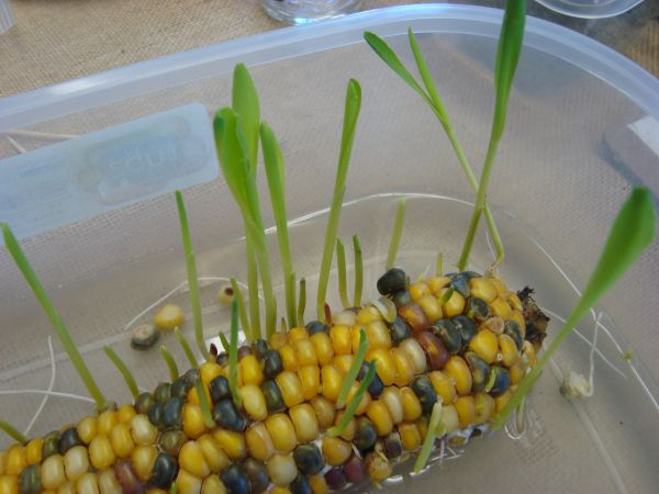 Sprouting Corn Growing Seeds Seed