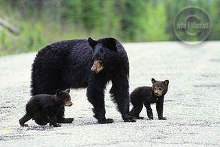 Mom And Baby Black Bears Norton Safe Search Baby Black Bear Black Bear Bear