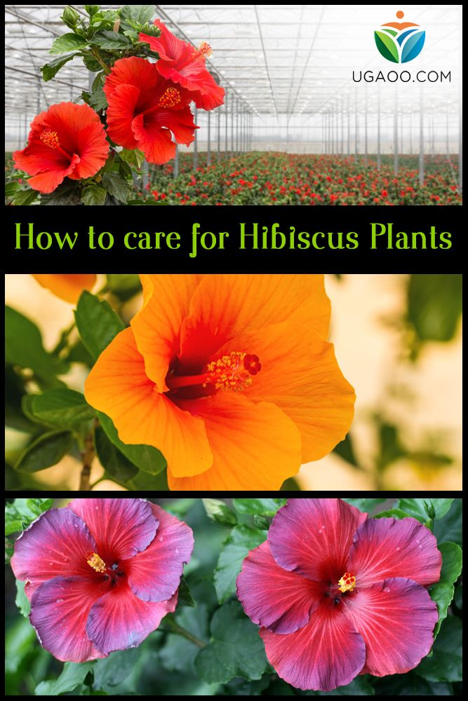 How To Care For Hibiscus Plants Hibiscus Plant Hibiscus