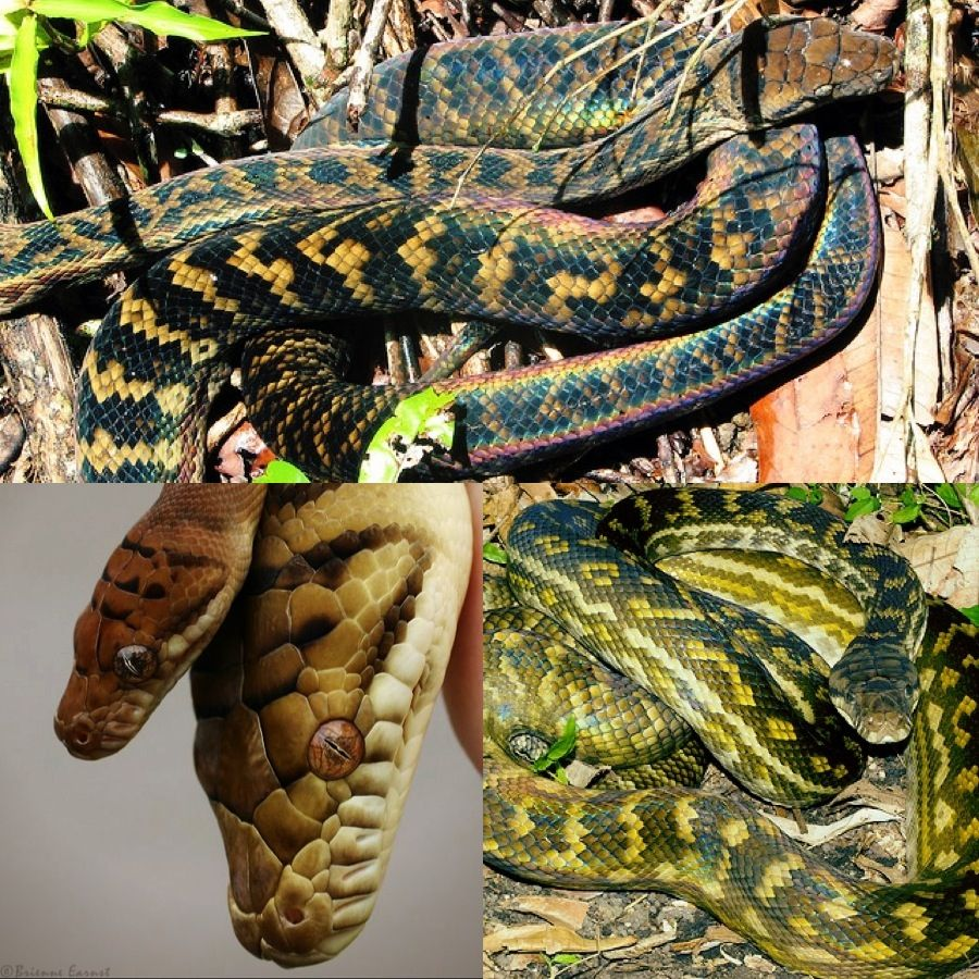 The Amethystine (or Scrub) python no pictures do this