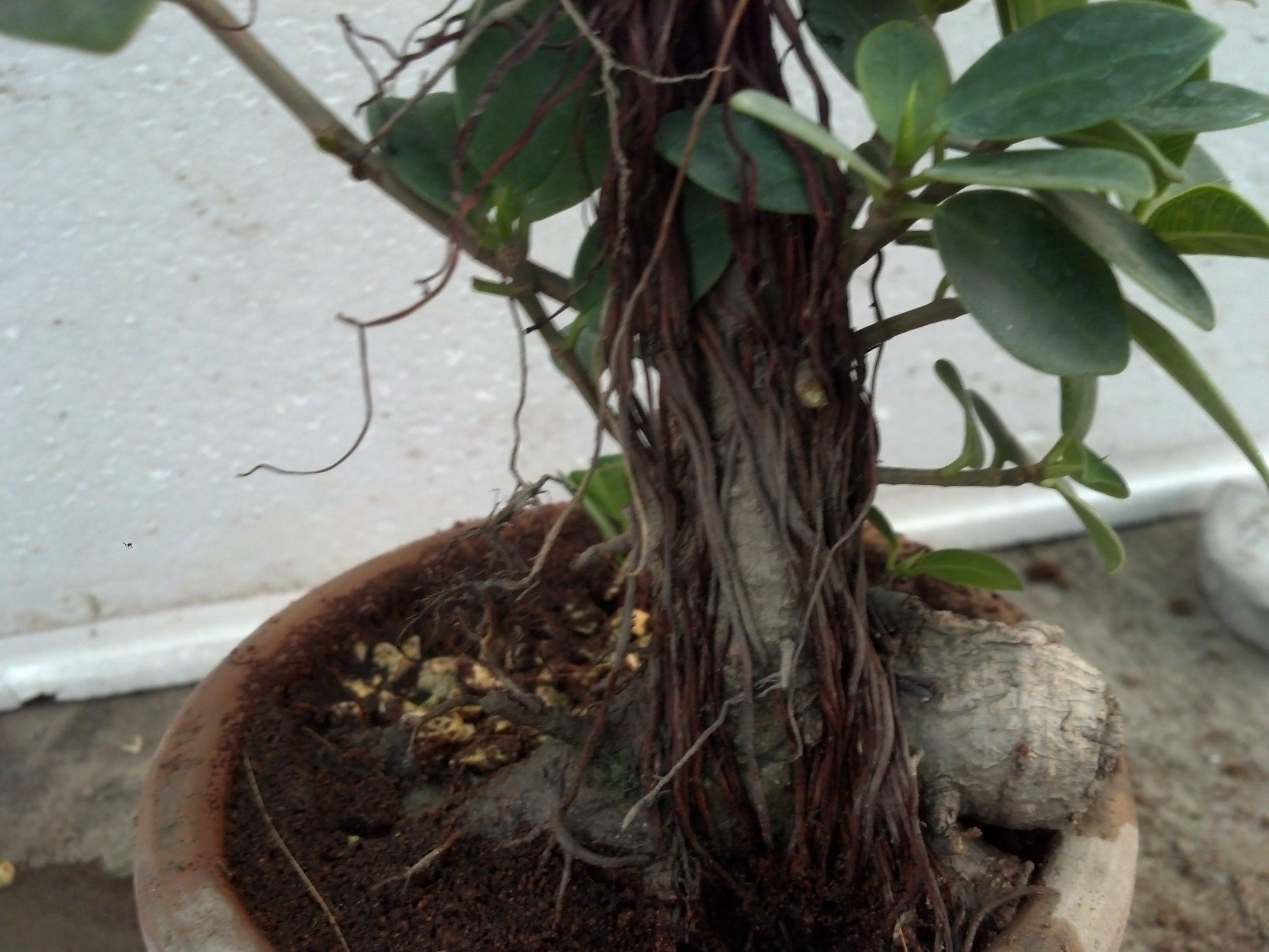 How To Repotting Ficus Bonsai Tree Ficus Microcarpa Ginseng August 2 Ficus Microcarpa Bonsai Tree Ficus Bonsai Tree