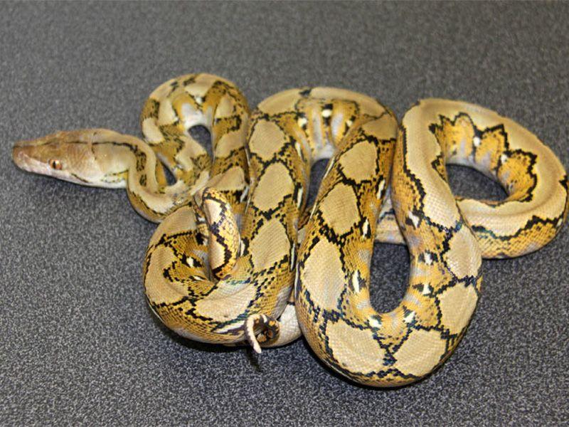 Platinum | Retic python morphs | Pinterest