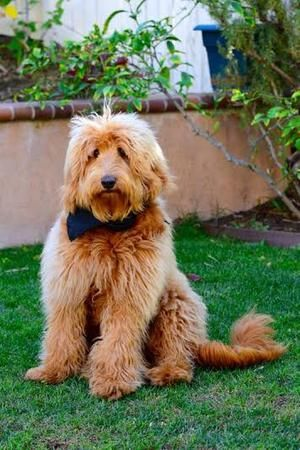 Beau Monde Breeding The Finest Australian Labradoodles In