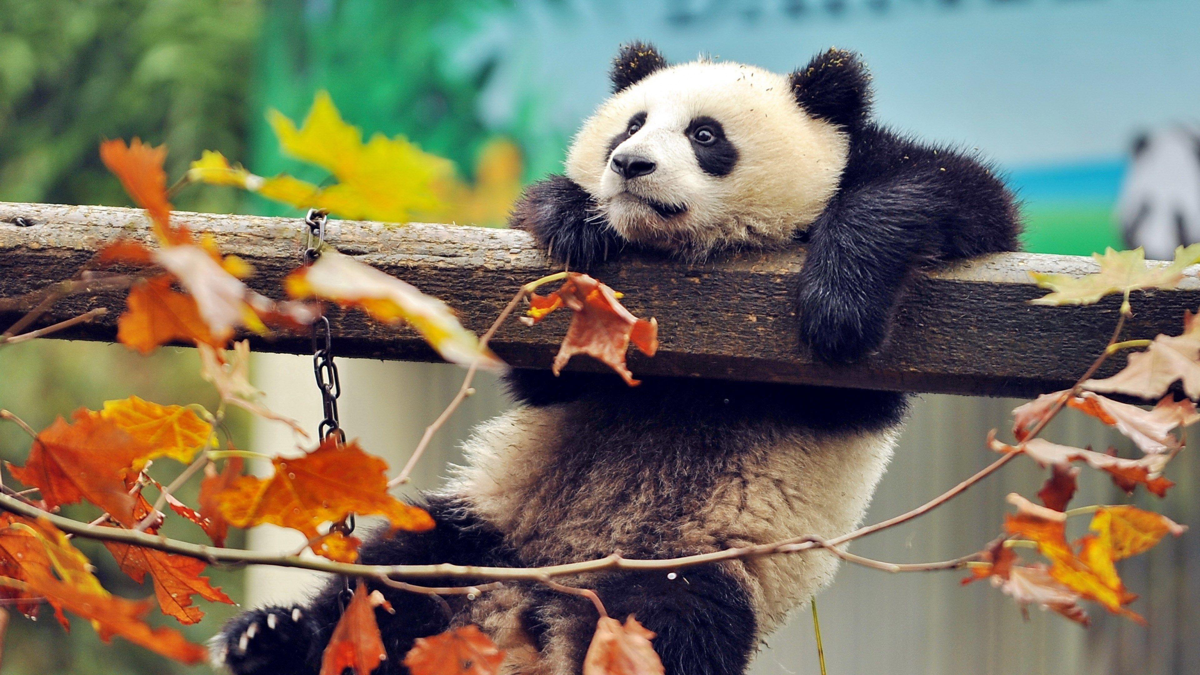 3840x2160 Panda 4k Best High Resolution Wallpaper Panda Bear Cute Animals Panda Wallpapers