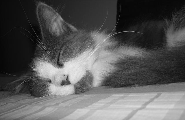 ข อม ลการเล ยงด แมวเปอร เซ ย และร ปภาพแมวเปอร เซ ยน าร กๆ ในป 2021 แมวเปอร เซ ย ส น ข แมว
