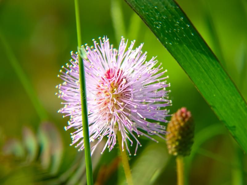 Download 84 Gambar Bunga Putri Malu Gratis