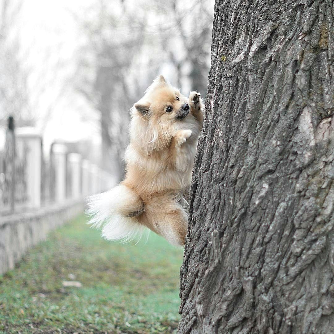 Resultado de imagen para pomeranian squirrel