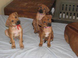 Rhodesian Ridgeback Rhodesian Ridgeback Puppies Rhodesian