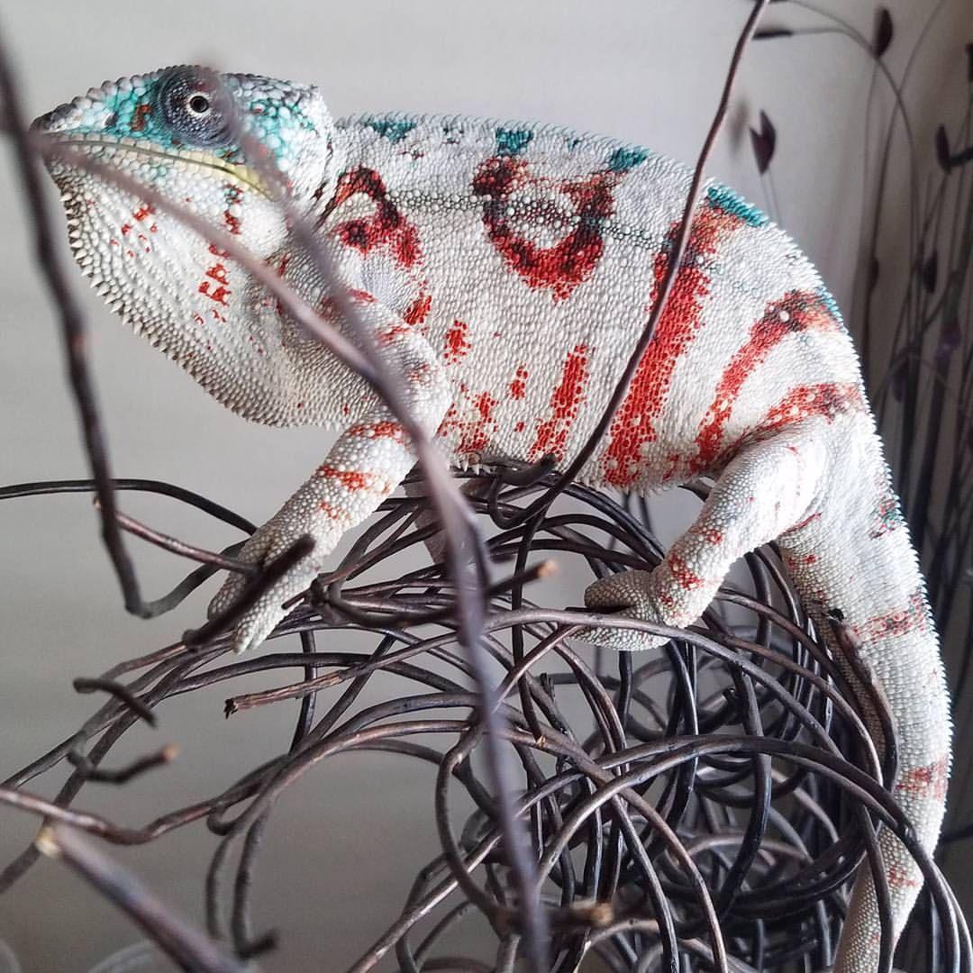 Amazing Colorful Chamilions: Whoa. This Chameleon Is Amazing!