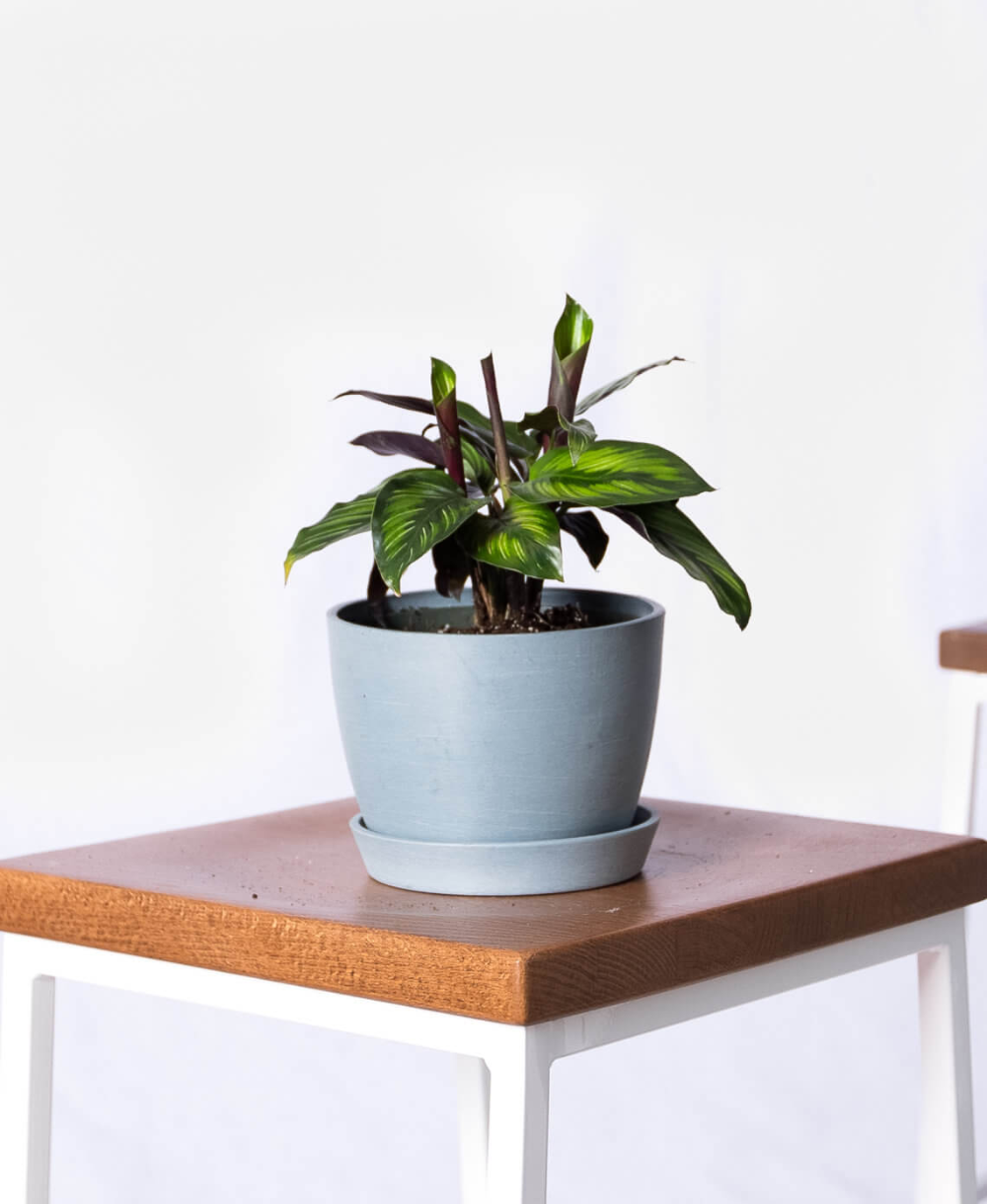 Calathea Beauty Star | Calathea, Buy indoor plants, Common ...