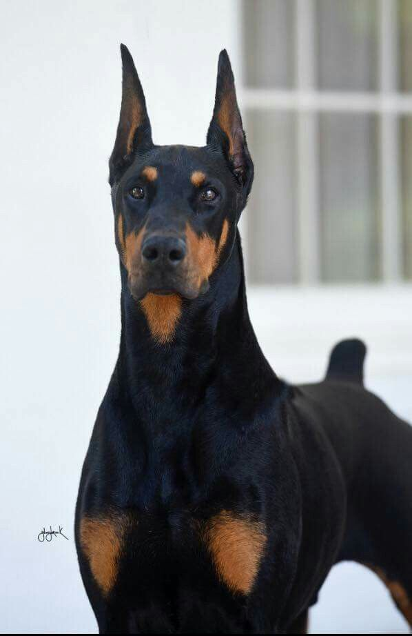 Doberman Pinscher Loyal And Fearless Doberman Pincher Bolshie