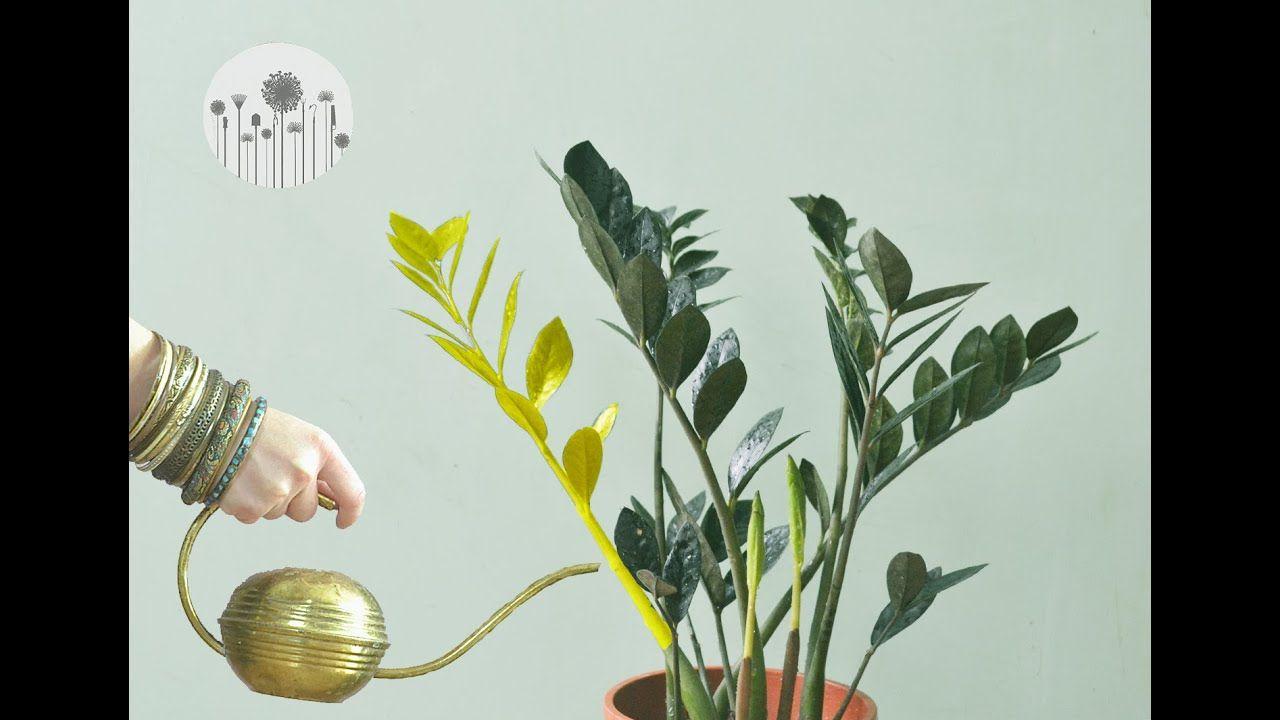 Dlaczego Zamiokulkas Zolknie Dlaczego Liscie I Lodygi Zamiokulkasa Zolkna Lub Zasychaja In 2020 Indoor Plants Plants Garden