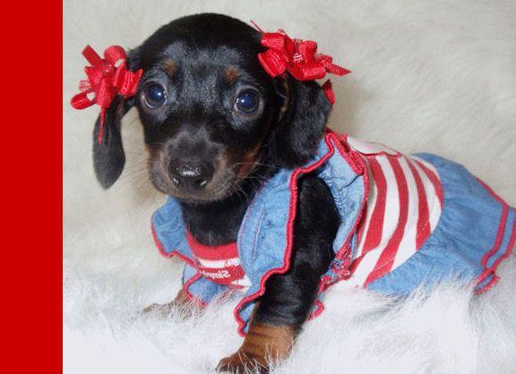 Doxie Cheerleader Rah Rah Rah Dachshund Weenie Dogs