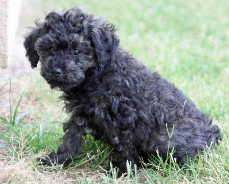 Puppies Poodle Mix Puppies Poodle Mix Poodle