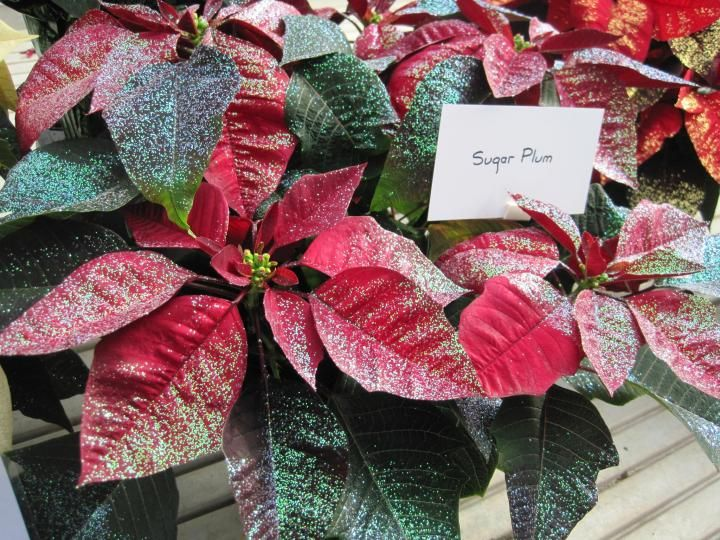 Poinsettias Plant Care Facts And History