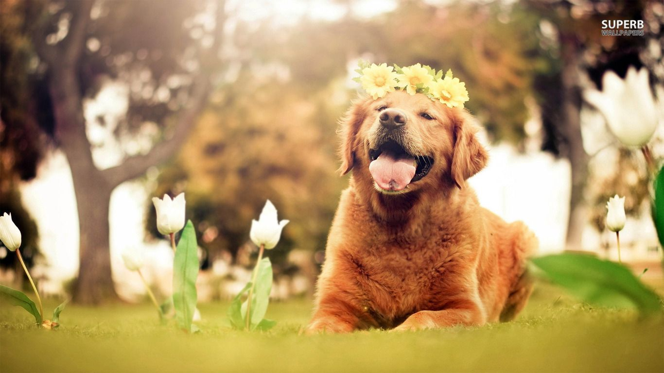 Easter Golden Retriever Wallpapers Golden Retriever Puppy
