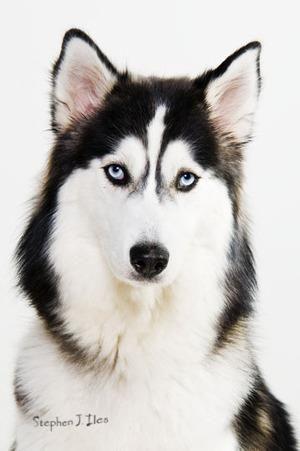 Husky Dog Http Www Thepetmedicinecompany Co Uk Pet Companies Animal Medicine Husky Dogs