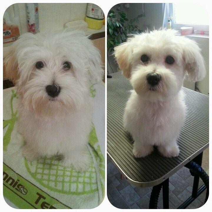 Havanese Hairstyle Hunde