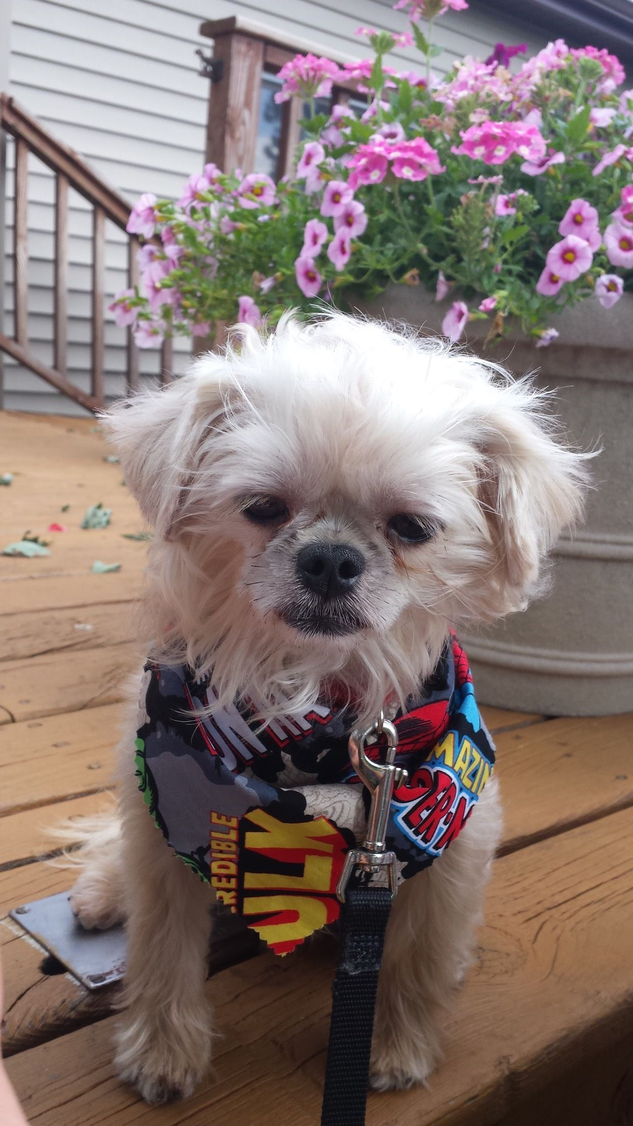 Max Is An Adoptable Shih Tzu Searching For A Forever Family Near
