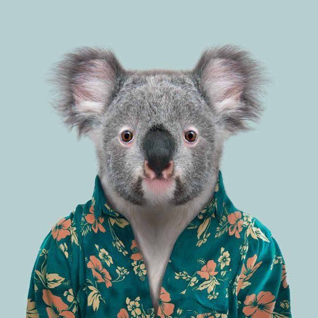 Cooper The Koala Phascolarctos Cinereus Koala Cute Animals Weird Animals