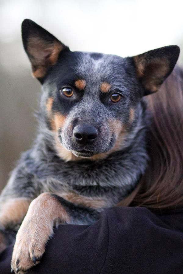 Adopt Reecee On Petfinder Austrailian Cattle Dog Blue Heeler Dogs Heeler Puppies