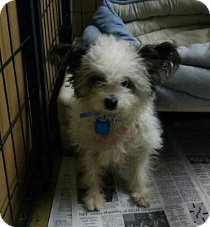 maltese rescue northern california toy dogs for adoption wow blog 9486