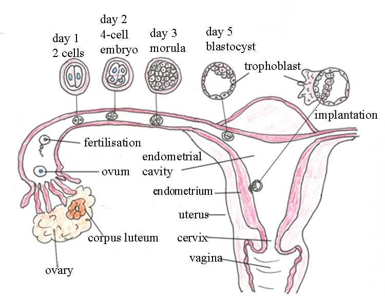 The sequence of fertilisation and implantation in the human female ...