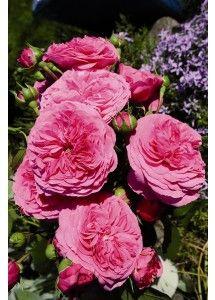 Baronesse®. Een uitgesproken robuuste Nostalgie® perkroos met dichtgevulde rozetachtige bloemen in een intensief magentaroze kleur. De groeiwijze is compact bossig met donkergroen glanzend loof. De bloemen hebben een opvallend lange houdbaarheid met een stabiele kleur.