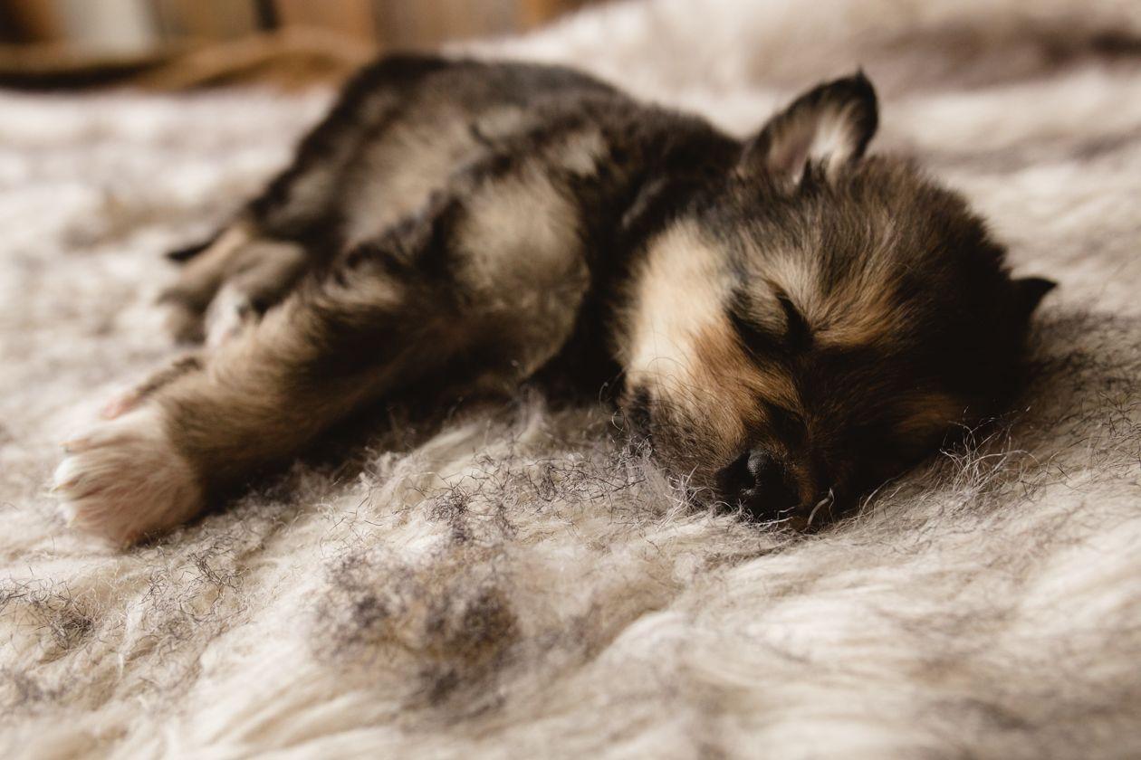 Berni A Female Wolf Malamute Hybrid Puppy For Sale In Evergreen