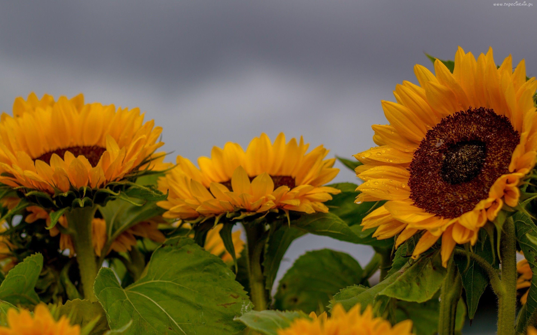 Slonecznik Ozdobny Sunflowers And Daisies Sunflower Wallpaper Sunflowers Background