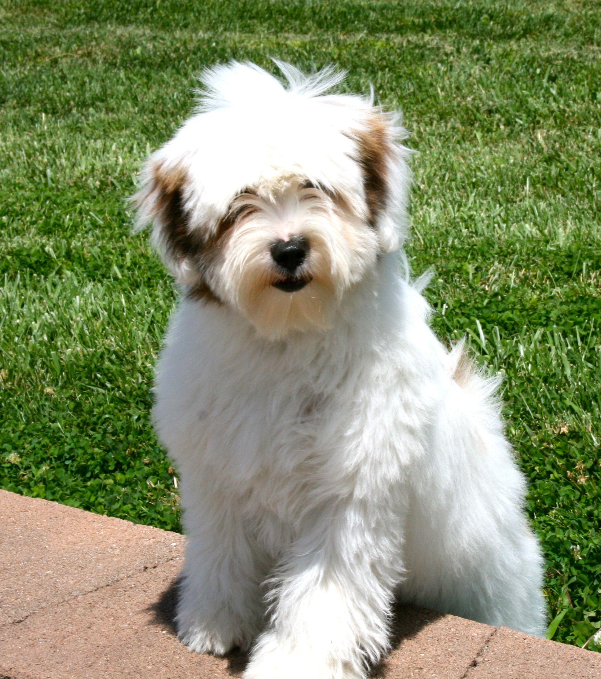 Ivyglenn Tibetan Terriers Tibetan Terrier Terrier Puppies Terrier