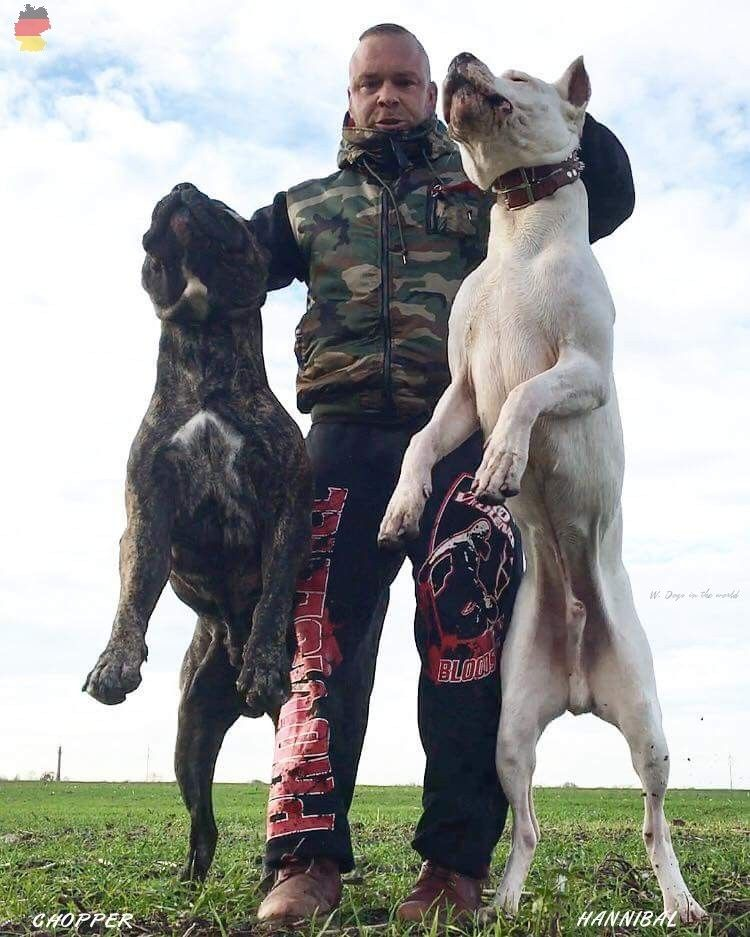 Chopper Dogo Canario Hannibal Dogo Argentino From Germany Presa Canario Dogo Argentino Pets